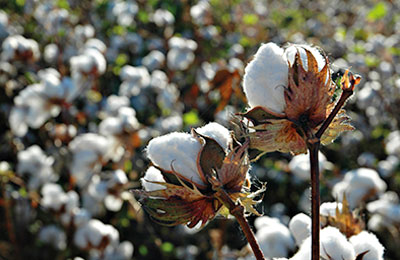Cotton Crop grown at theYorkshire Farm